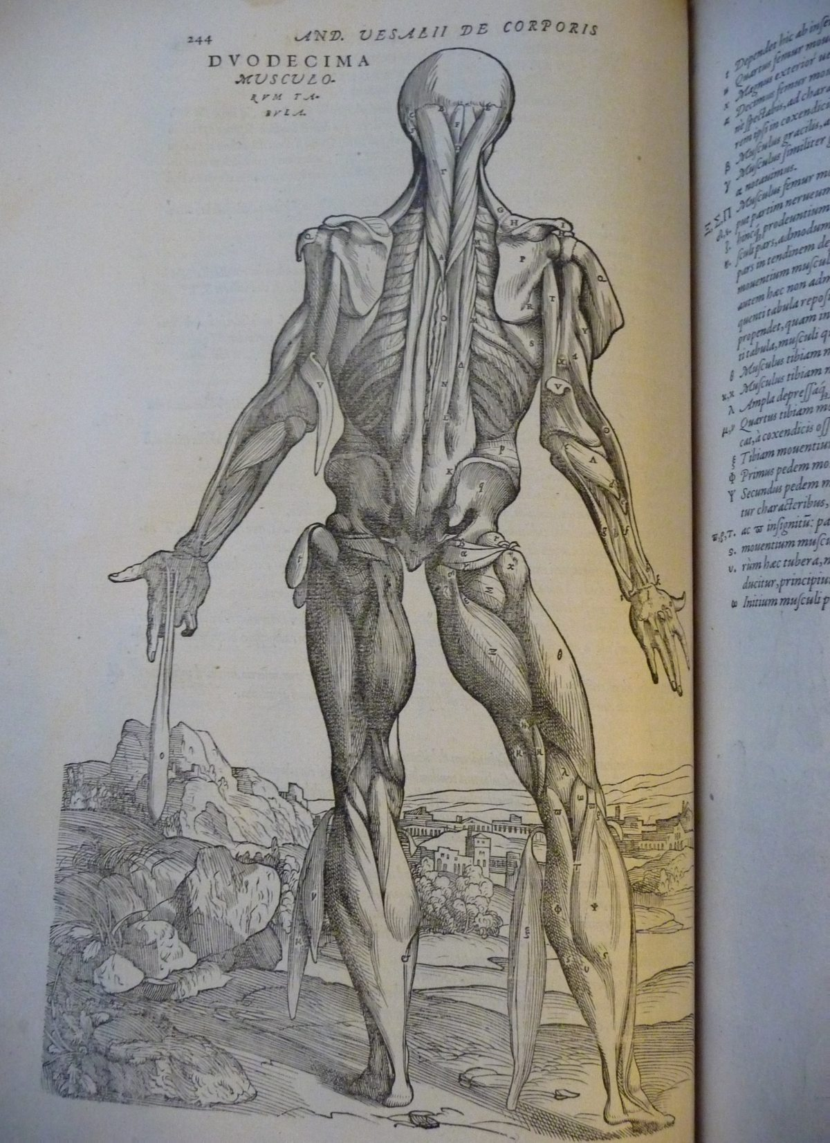 An intricately detailed drawing of human dissection in an allegorical pose, from 'De humani corporis fabrica' (The fabric of the human body) by Andreas Vesalius.